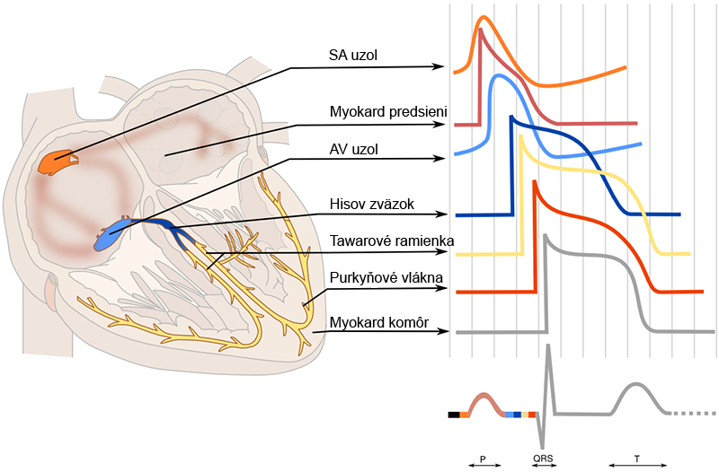 Heart areas with action potentials in conduction system and myocardial muscle