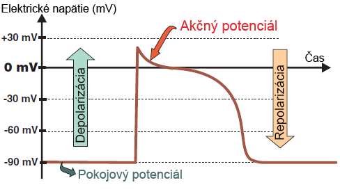Action potential with depolarization and repolarization voltage