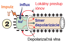 Propagation of depolarization, electrical impulse, sodium influx, and local ionic current