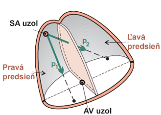Schematic representation of the atria, P wave depolarization vectors