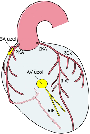 Schematic representation of conduction system and blood supply, Ischamia and infarction