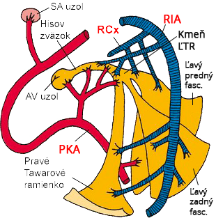 Blood supply left bundle branch, PDA, LCx, RCA