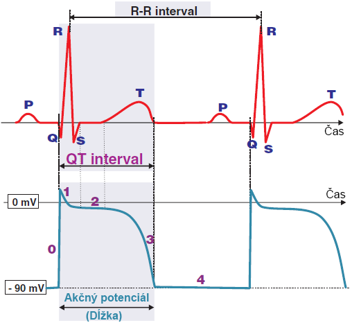 ECG action potential duration, depolarization, repolarization, P wave, QRS, T wave, QT inteval, RR interval
